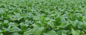 ladang-tembakau